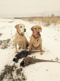 Labs and Pheasants